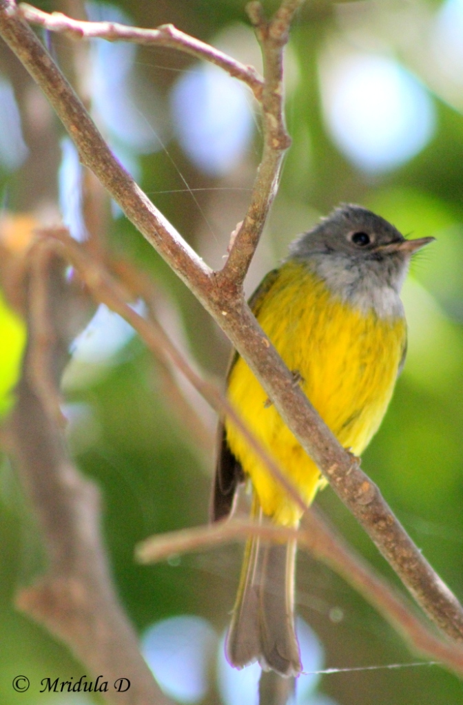 Grey Headed Flycatcher