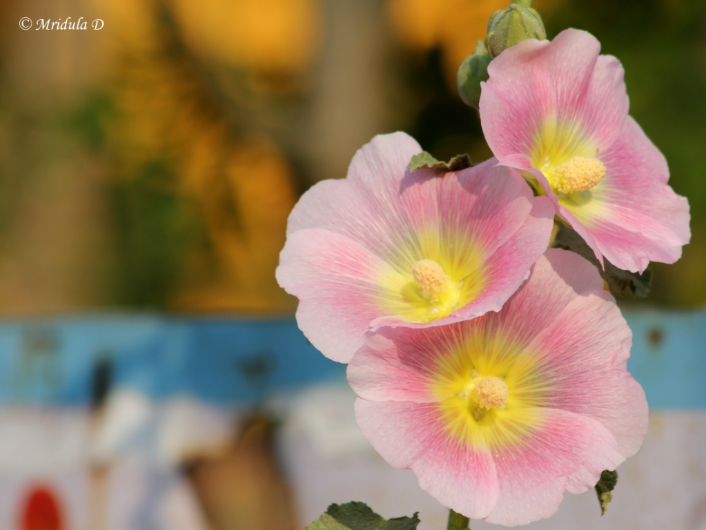 Hollyhock Flowers