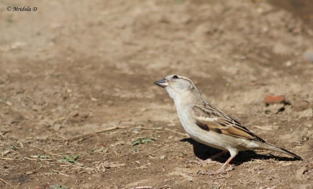 A House Sparrow at Bharatpur, Rajasthan, India