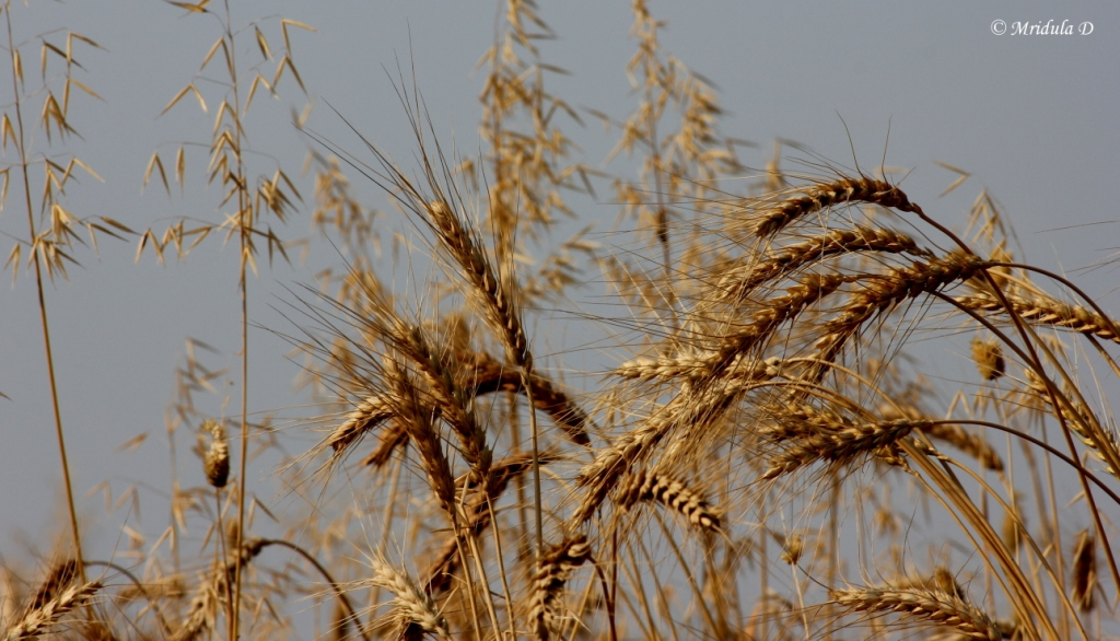Wheat Stalks