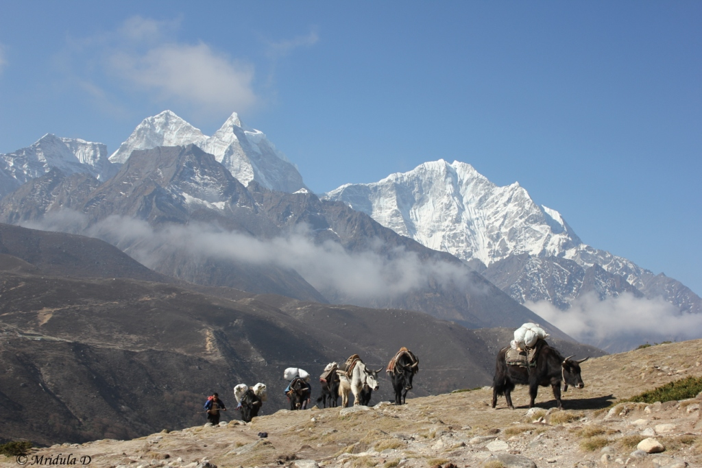 A Carvan of Cross Between Yak and Cow, Dzokios, Near Pheriche, Everest Base Camp Trek, Nepal
