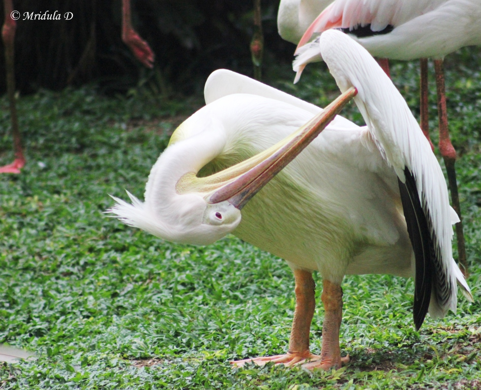 Pelican at KL Bird Park