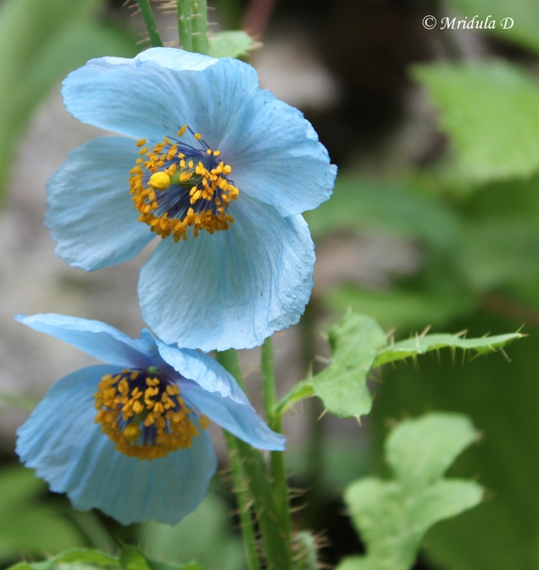 Himalayan Blue Poppies, Valley of Flowers, Uttarakhand