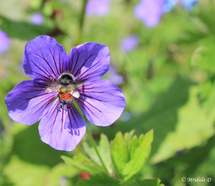 Himalayan Geranium with a Bee, Valley of Flowers, Uttarakahnd