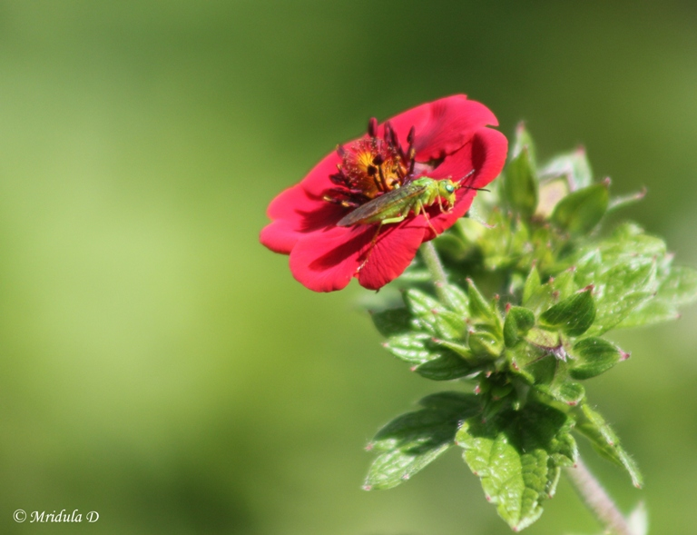 Red Potentilla Flower with an Insect