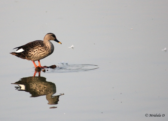 Spot Billed Duck, Hauz Khas, Delhi