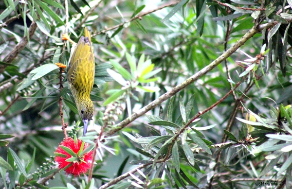 Streaked Spiderhunter of the Sunbird Family, Fraser's Hill, Malaysia