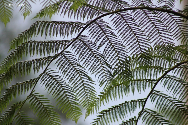 Tree Ferns at Fraser's Hill, Pahang, Malaysia