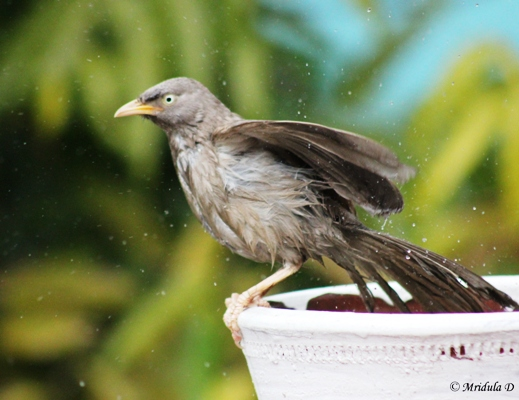 Jungle Babbler Bath