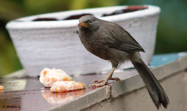 Jungle Babbler Food
