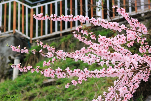 Flowering Apricot Tree