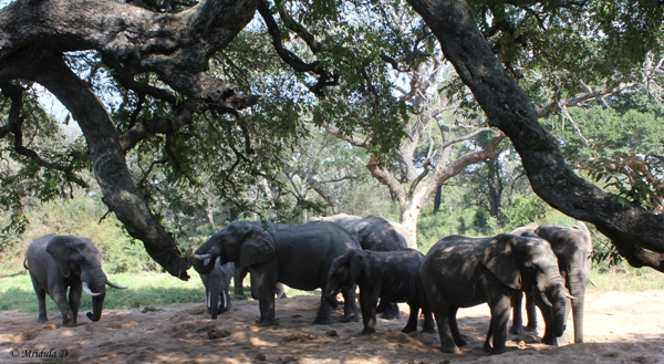 A Heard of Elephants, Tintswalo Lodge Backyard, South Africa