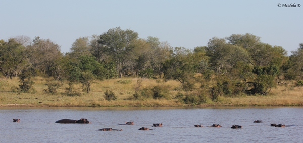 Submerged Hippos in a Pond, Manyeleti Game Reserve, South Africa