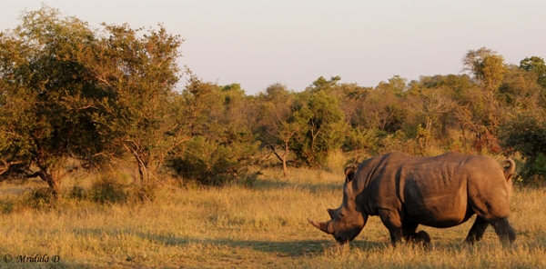 Single Horned White Rhino, South Africa