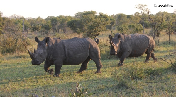 White Rhinos, Manayeleti Game Reserve, South Africa