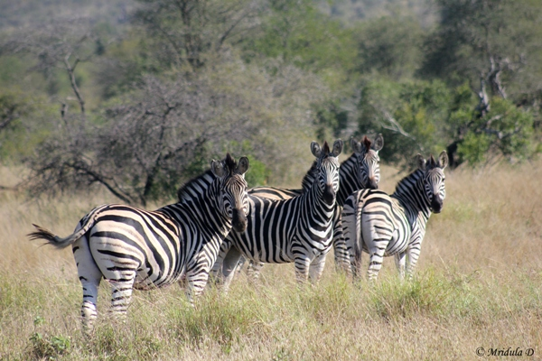 Zebras in the Wild, South Africa