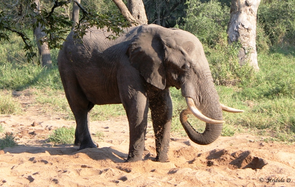 An African Elephant Splashing Mud, Manyeleti Game Reserve