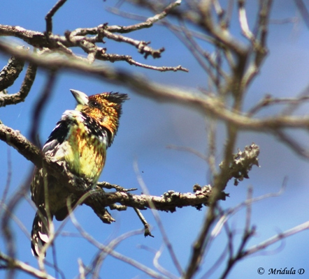 Crested Barbet, Manyeleti Game Reserve, South Africa