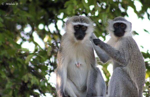 Vervet Monkeys, South Africa