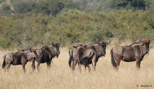 Wildebeest, South Africa