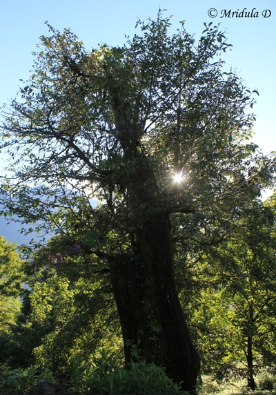 A Beautiful Tree, Annapurna Circuit Trek, Nepal