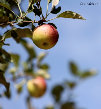 Apples at Te Aroha, Dhanachuli, Uttarakhand