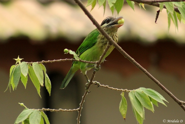 White Cheeked Barbet with a Berry