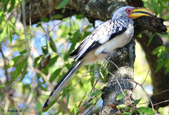 Yellow Billed Hornbill, Manyeleti Game Reserve, South Africa
