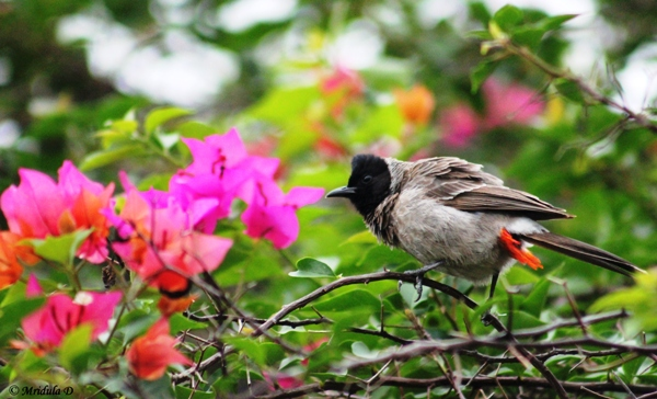 A Red Vented Bulbul