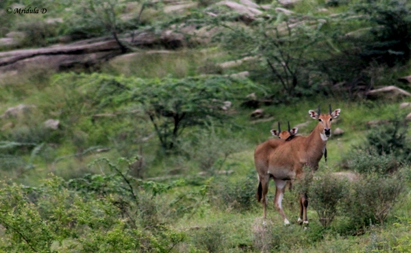 Antelopes at Lakshman Sagar