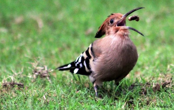 Hoopoe at Pushkar Resorts, Pushkar