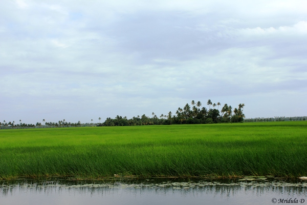 Lush Green Paddy Fields, Kerala Backwaters