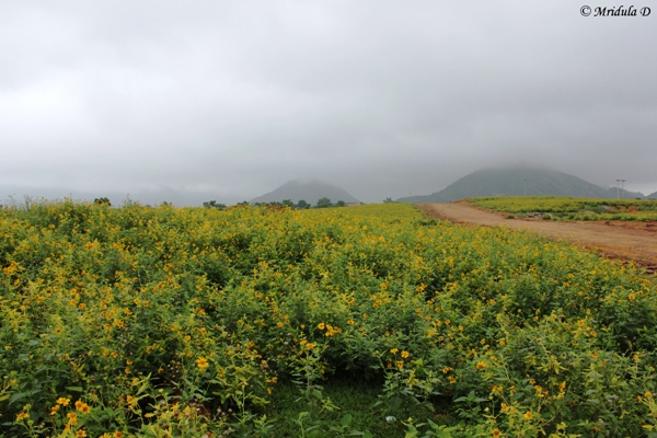 Wild Sunflowers near Pushkar, Rajasthan