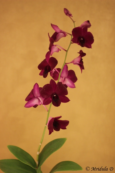 Purple Orchids at Dusit Thani Hotel, Bangkok