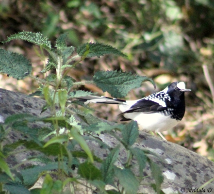 Forktail Bird