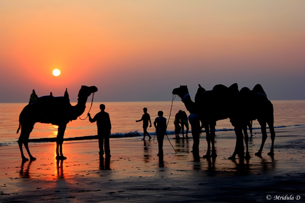 Camels at Mandavi Beach, Kutch, Gujarat