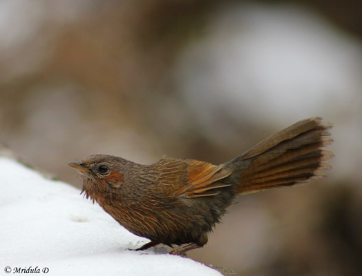 streaked-laughing-thrush