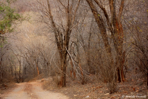 Dhonk Trees at Ranthambore
