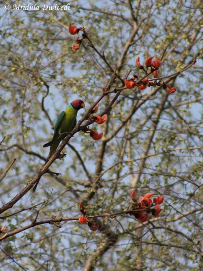 Plum Headed Parakeet, Ranthambore