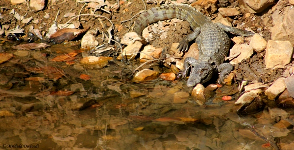 A Young Crocodile