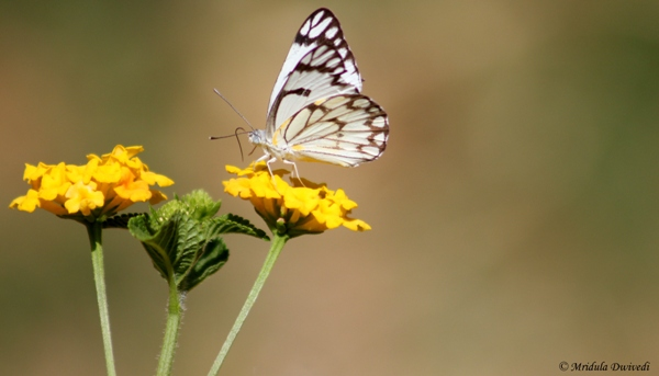 Butterfly on Yellow Lantana Flowers