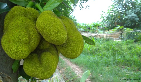 Jack fruits at Judge's Court, Pragpur