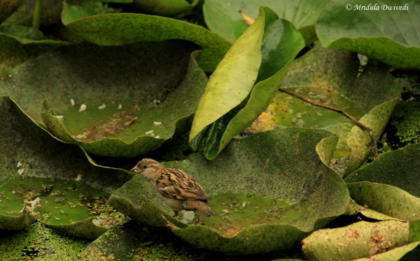 A Sparrow at Dal Lake