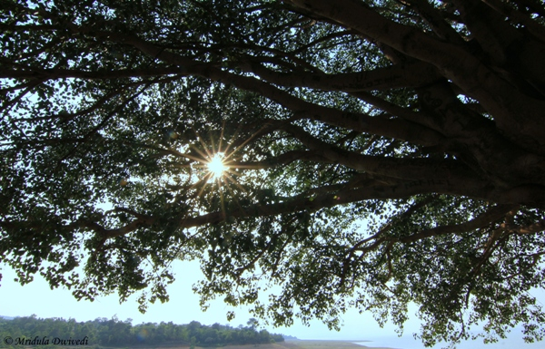 Sun Rays on the Pipal Tree!