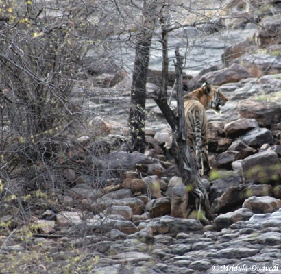 A Tiger at Ranthambore