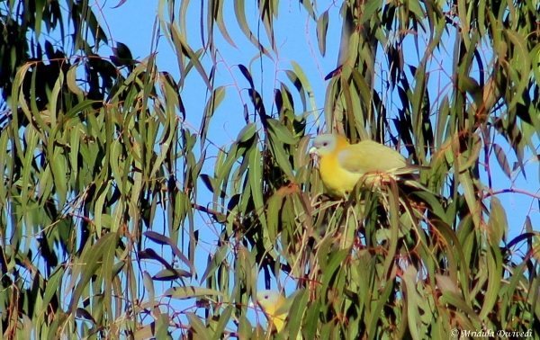 Yellow Toed Green Pigeon