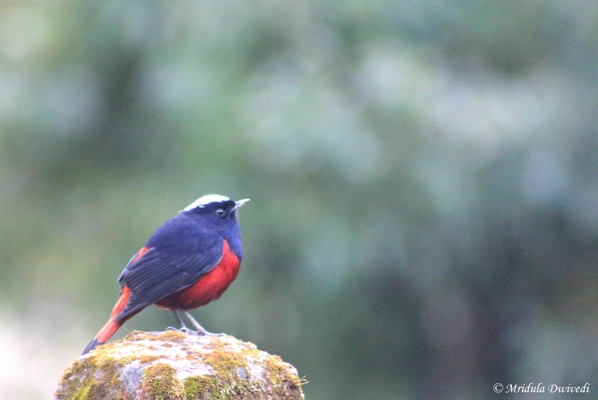 White Capped Redstart