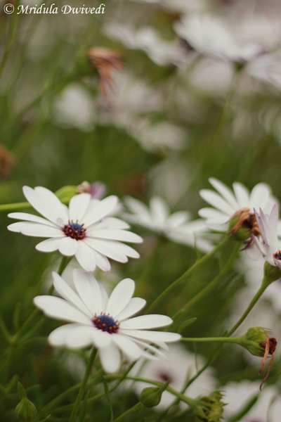 african-daisy-white
