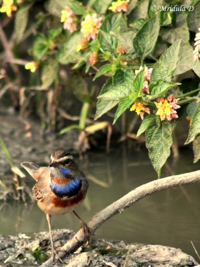 blue-throat