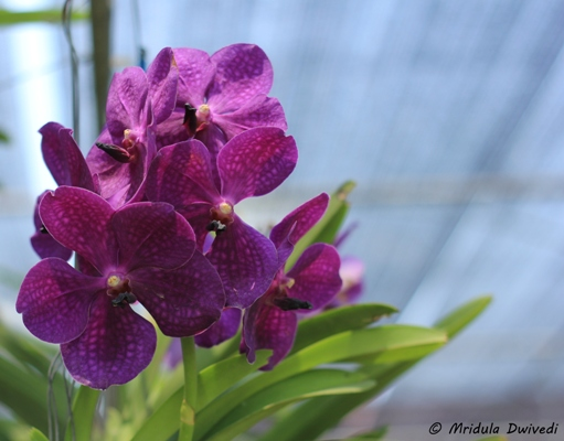 beautiful-orchid